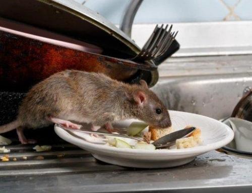 Mengapa tikus mudah ditemukan ketika fase social distancing?